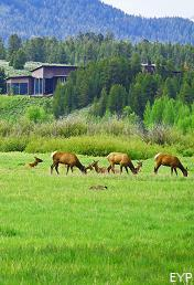 Elk, Jackson Lake Lodge, Grand Teton National Park