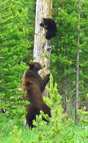 Black bear, Signal Mountain Area, Grand Teton National Park