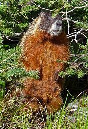 Marmot, Jenny Lake, Grand Teton National Park