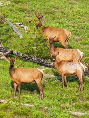 Elk, Jenny Lake Area, Grand Teton National Park