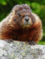 Marmot, Taggart Lake Trail, Grand Teton National Park