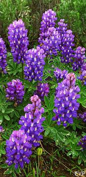 Lupine, String Lake Area, Grand Teton National Park