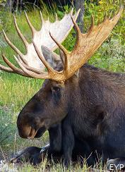 Bull moose, Jackson Lake Lodge, Grand Teton National Park