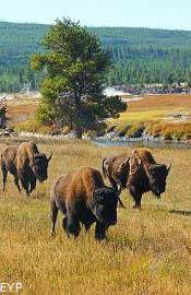 Buffalo, Midway Geyser Basin, Yellowstone National Park