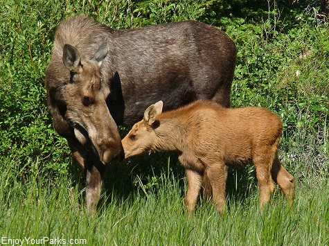 Moose Cow and Calf, Glacier National Park