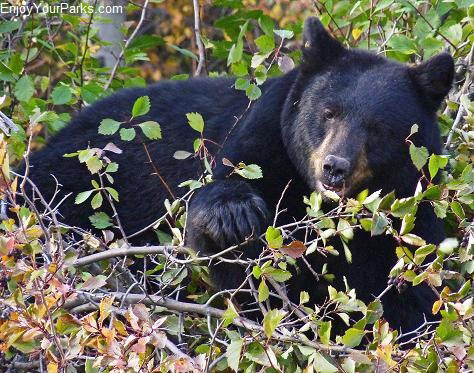 Black bear, Moose - Wilson Road, Moose Junction, Grand Teton National Park