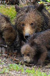Grizzly bears, Norris Junction Area, Yellowstone National Park