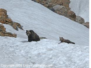 Grizzly Bears, Two Medicine Area, Glacier National Park