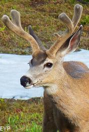 Mule Deer, Glacier National Park