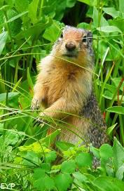 Columbian Ground Squirrel, Swiftcurrent Pass Trail, Glacier National Park