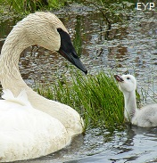 Trumpeter Swans, Yellowstone National Park