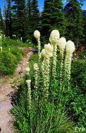 Beargrass, Granite Park Chalet, Glacier National Park