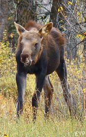 Moose calf, Moose Junction, Grand Teton National Park
