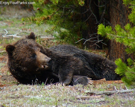 Grizzly bear, Madison Area, Yellowstone National Park