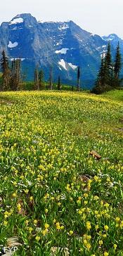 Glacier Lilies, Granite Park Chalet, Glacier National Park