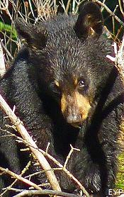 Black Bear Cub, Grand Teton National Park