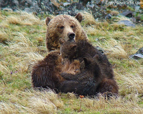 Nursing Grizzlies, Yellowstone National Park
