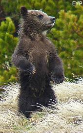 Grizzly bear cub, Mount Washburn - Dunraven Pass Area, Yellowstone National Park