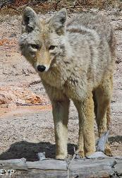 Coyote, Grand Canyon of the Yellowstone, Yellowstone National Park