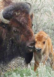 Buffalo cow and calf, Tower / Roosevelt Area, Yellowstone National Park