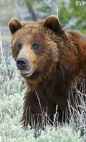 Montana grizzly bear