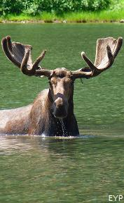Moose in Fisher Cap Lake, Swiftcurrent Pass Trail, Glacier National Park