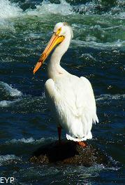 White Pelican, Lehardy Rapids, Yellowstone National Park