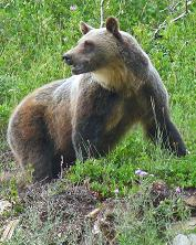 Grizzly Bear, Sperry Chalet, Glacier National Park