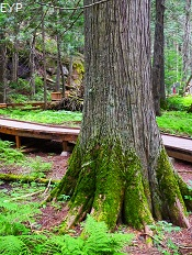 Trail of the Cedars, Glacier National Park