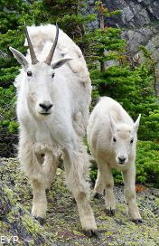 Mountain Goats, Glacier National Park