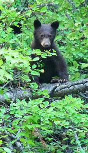 Black bear cub, Many Glacier Boat Tour, Glacier National Park