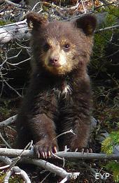 Black bear cub, Tower / Roosevelt Area, Yellowstone National Park