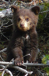 Black Bear Cub, Yellowstone National Park.