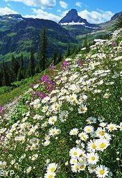 Wildflowers, Glacier National Park