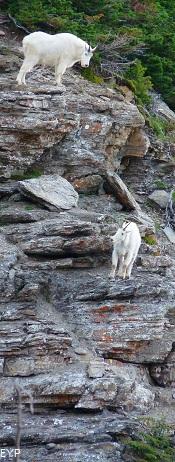 Mountain Goats, Glacier National Park