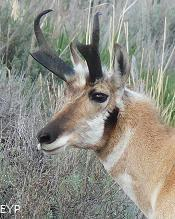 Pronghorn Antelope, Yellowstone National Park