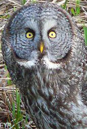 Great grey owl, Tower / Roosevelt Area, Yellowstone National Park
