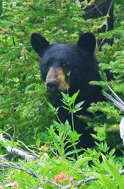 Black bear, Two Medicine Pass, Glacier National Park