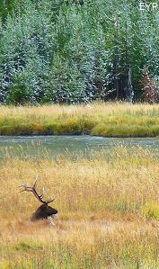 Bull elk along the Madison River, Madison Junction Area, Yellowstone National Park