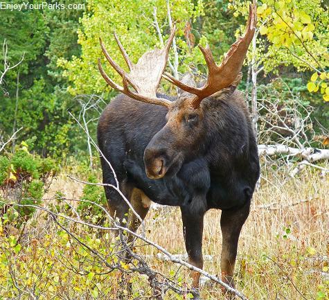Bull Moose, Jenny Lake, Grand Teton National Park