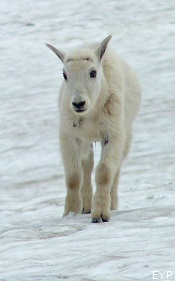 Mountain Goat Kid, Sperry Chalet Trail, Glacier National Park