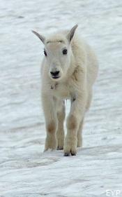 Mountain goat, Sperry Glacier Trail, Lake McDonald Area, Glacier National Park