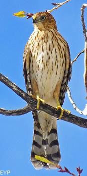 Juvenile sharp-shinned hawk, Oxbow Bend, Grand Teton National Park