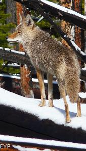 Coyote, Mount Washburn - Dunraven Pass Area, Yellowstone National Park