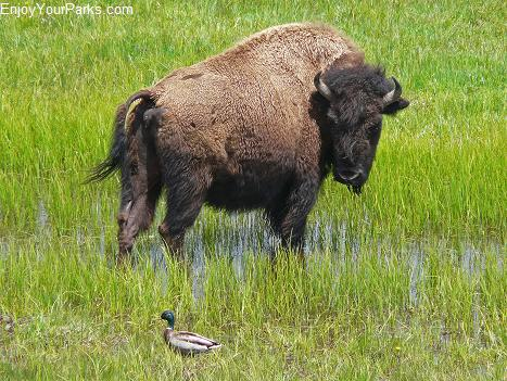Buffalo and Mallard Duck, Hayden Valley, Yellowstone National Park