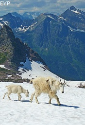 Mountain Goats, Sperry Glacier, Glacier National Park