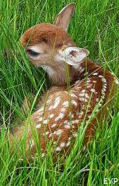 Whitetail deer fawn, Tower / Roosevelt Area, Yellowstone National Park