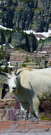 Mountain Goat, Sperry Glacier Trail, Glacier National Park