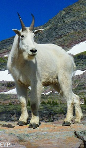 Mountain Goat, Sperry Glacier, Glacier National Park