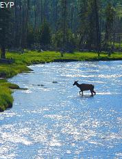 Elk in the Madison River, Madison Junction Area, Yellowstone National Park